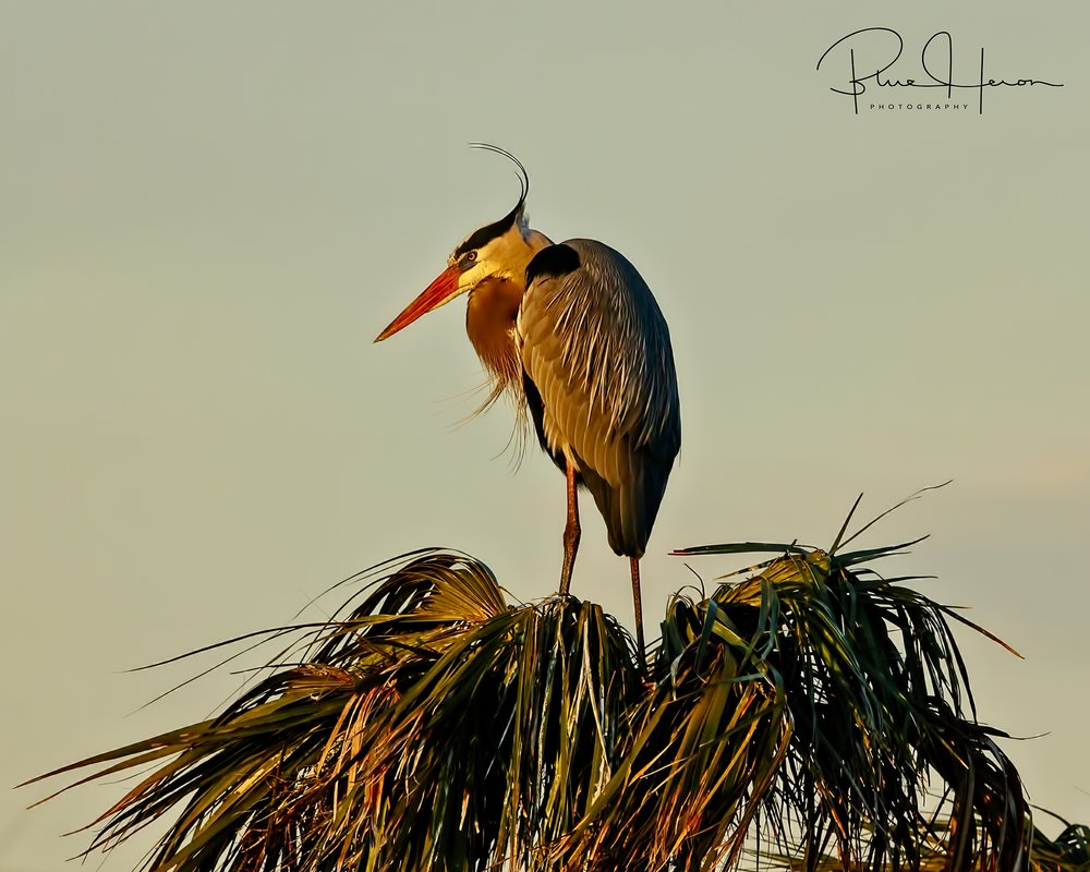 Gus the Great Blue Heron is up early and assumes the watch..