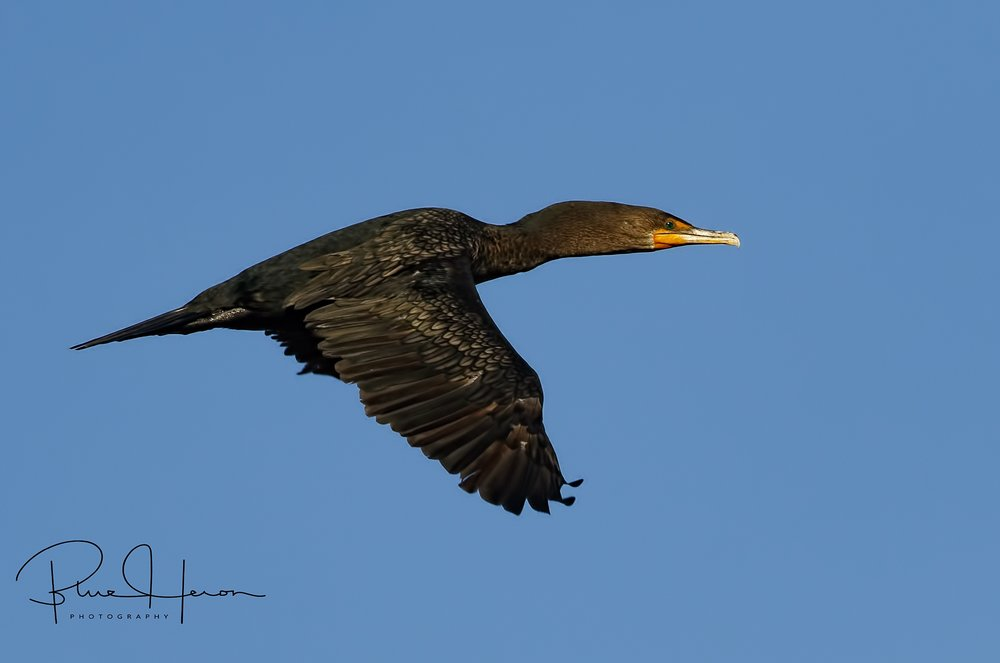 A cormorant flies by in the early morning light