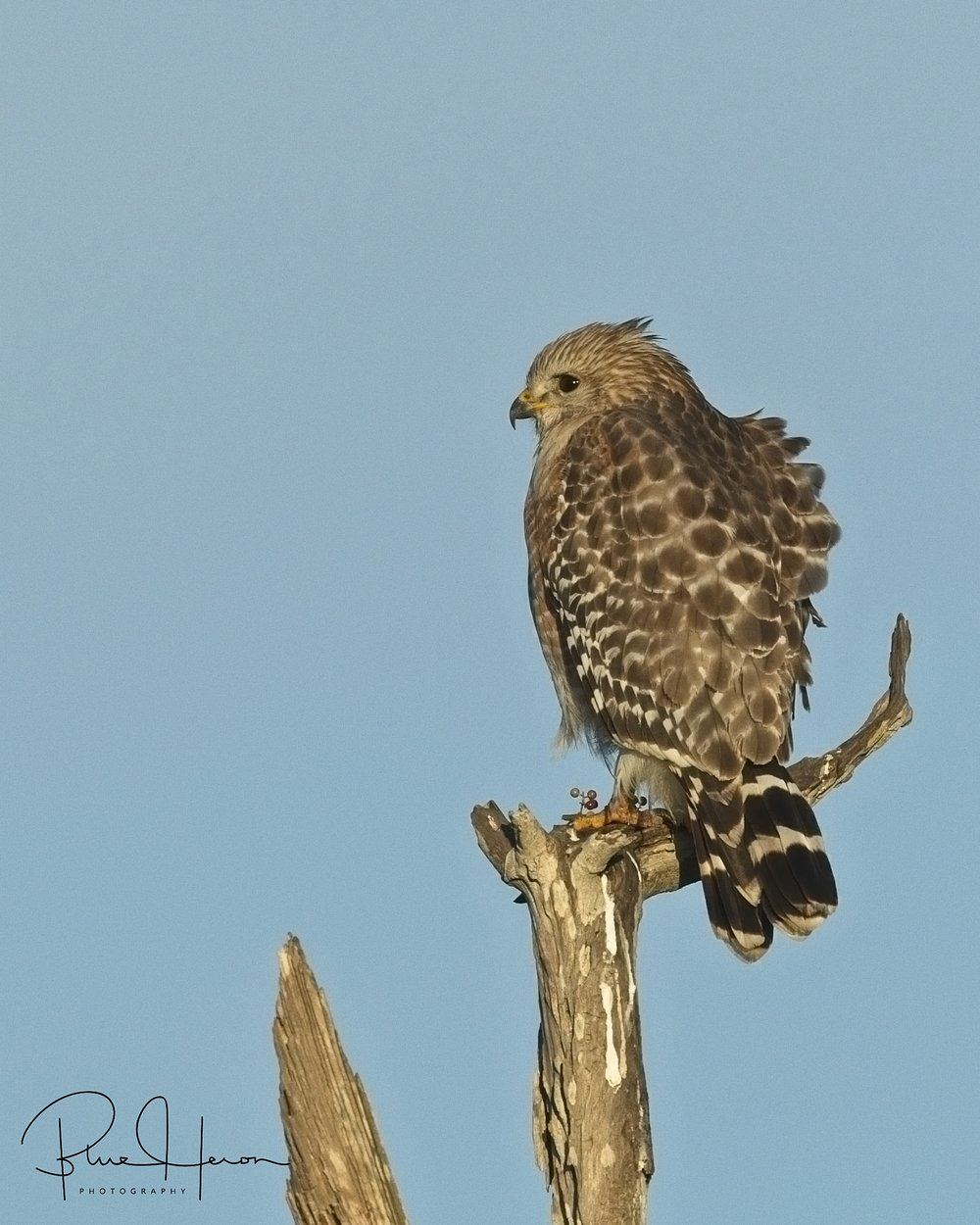 A pair of immature Red-shouldered hawks were looking for easy picking too!