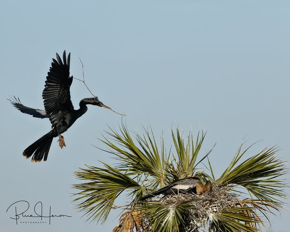 Male Anhinga brings another stick to the nest.