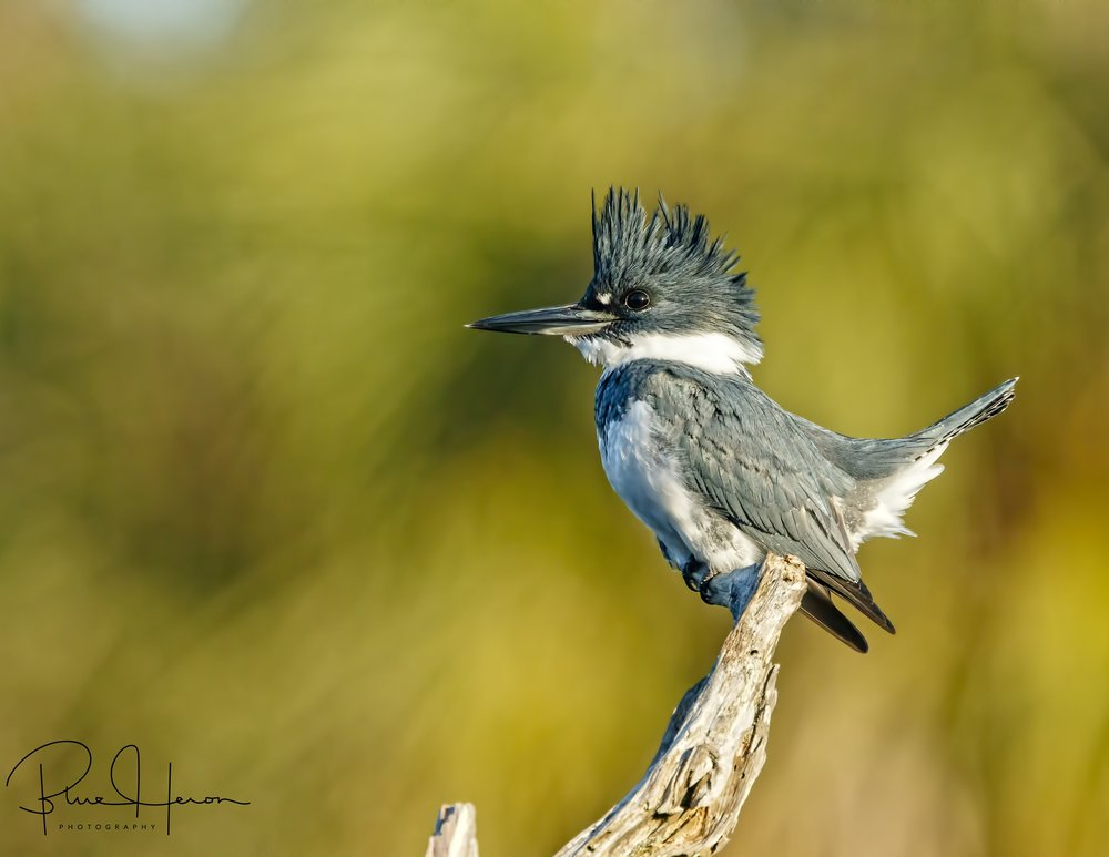 Belted Kingfisher, male. This skittish bird is difficult to capture..