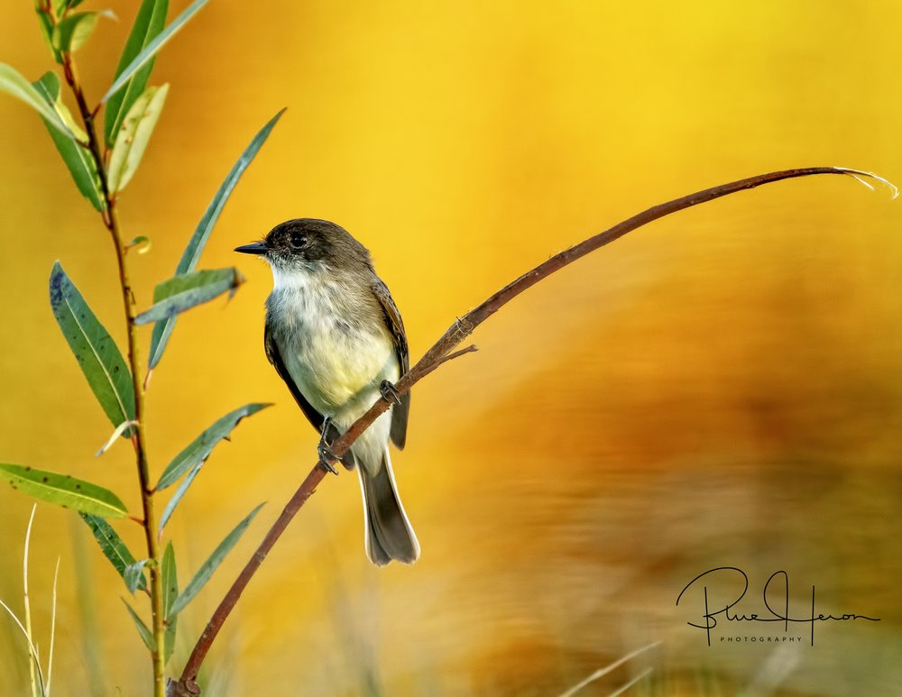 The morning reflection of the colors in the pond gave this Phoebe a painted look