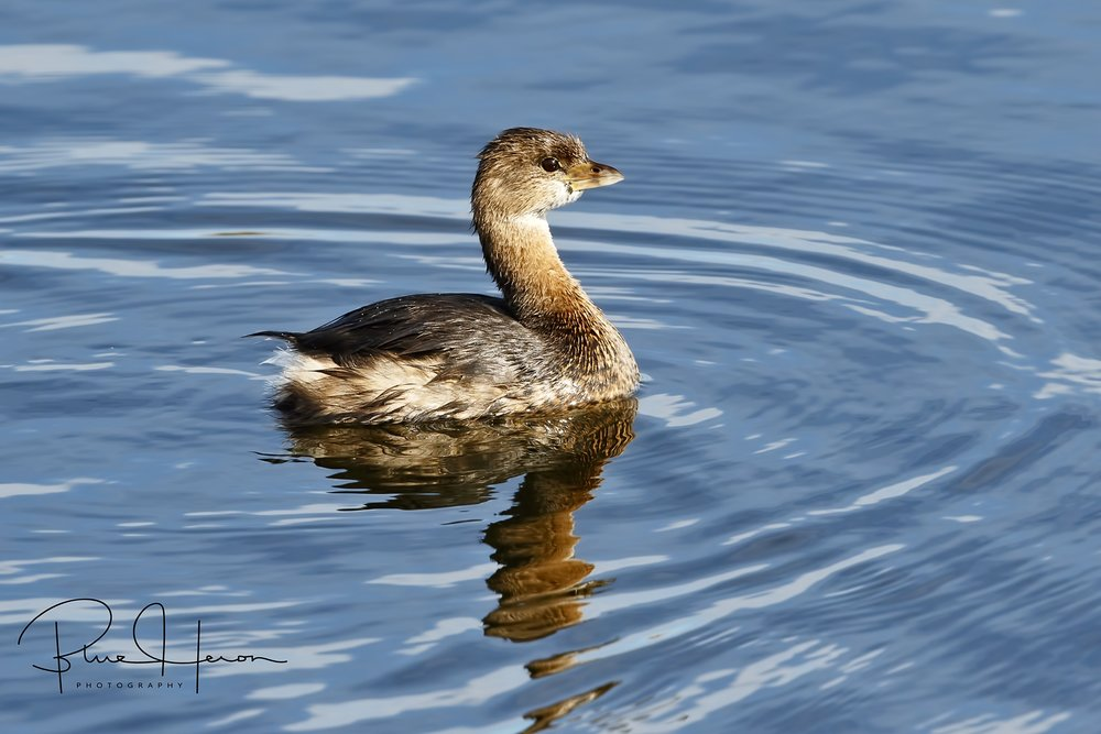 No trip to the wetlands is complete without a Pied-billed Grebe photo