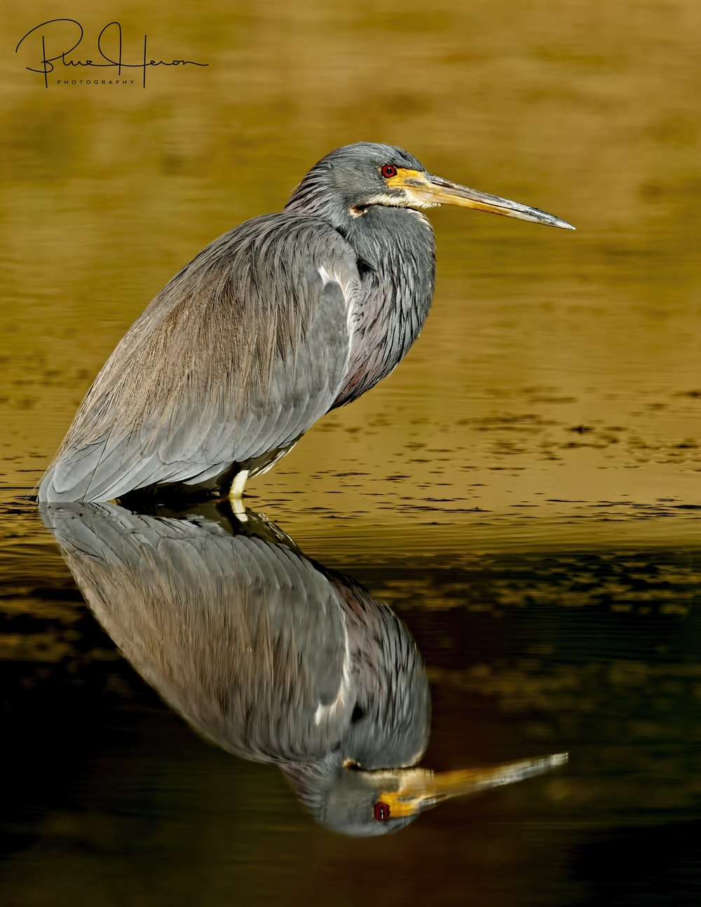 Are there two Tricolored Herons or one?