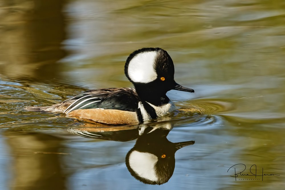 Pair of male Hooded Mergansers?