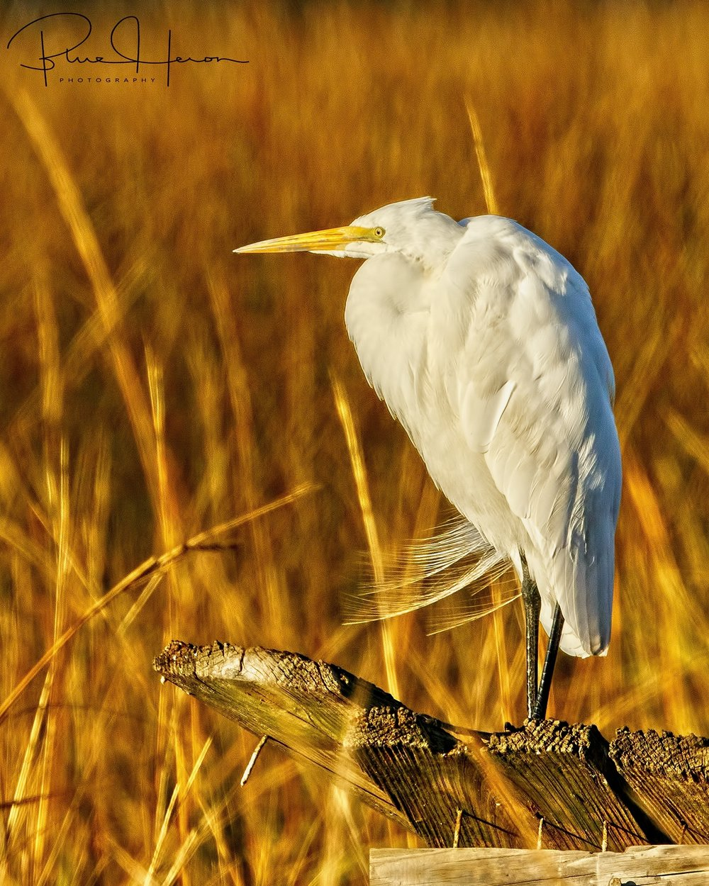 Cold and Gold..Great Egret in the cold golden light of a chilly January morning