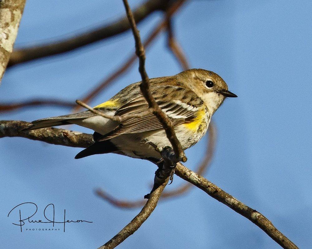 "Yellow-rumped Warber aka Myrtle Warbler or ""butter butt"""