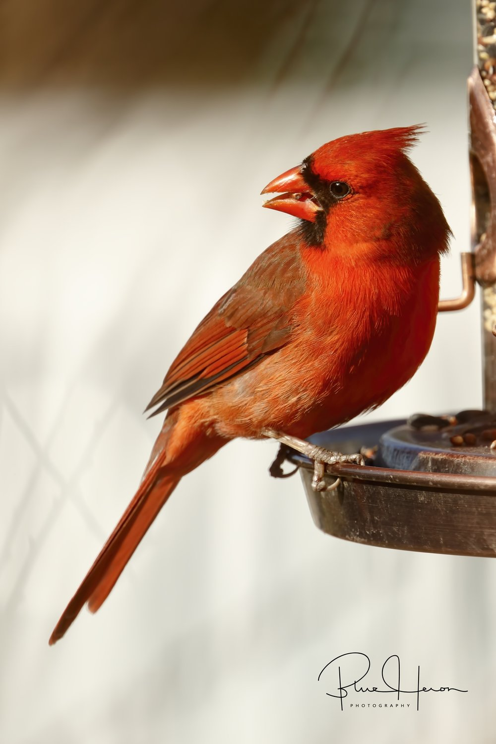 Not a big fan of feeder shots but this is the only place I got this Northern Cardinal in the open