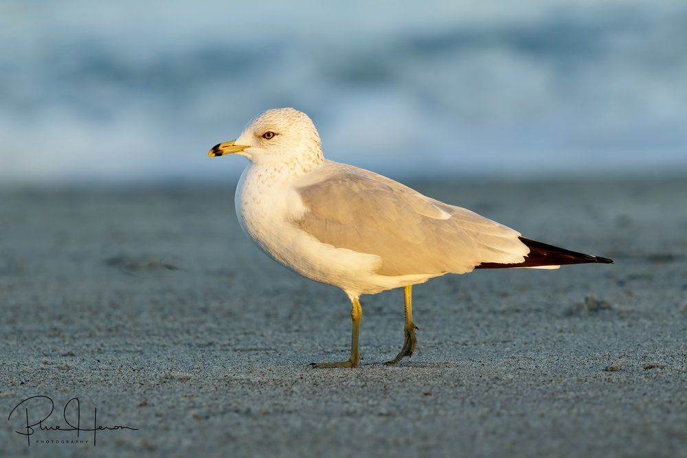 Last ray of light illuminates this Ring-billed Gull in the shadows.