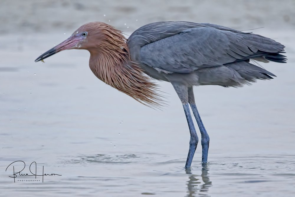 This normally stunning Reddish Egret says the fog ruined its head feathers!
