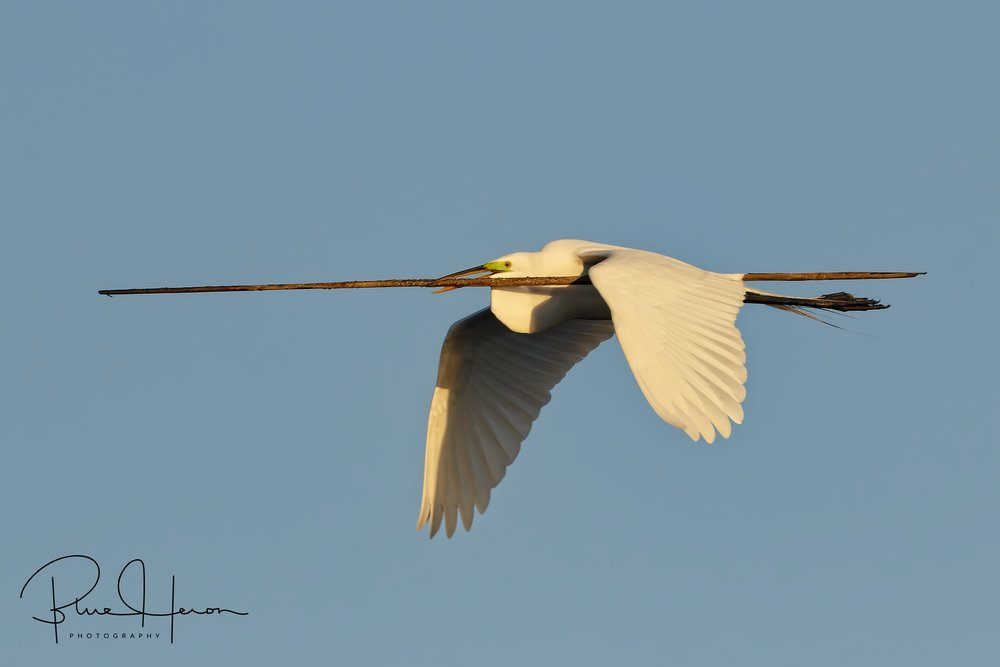 Fly softly but carry a big stick...this Great Egret brings a pole like stick to anchor its nest.