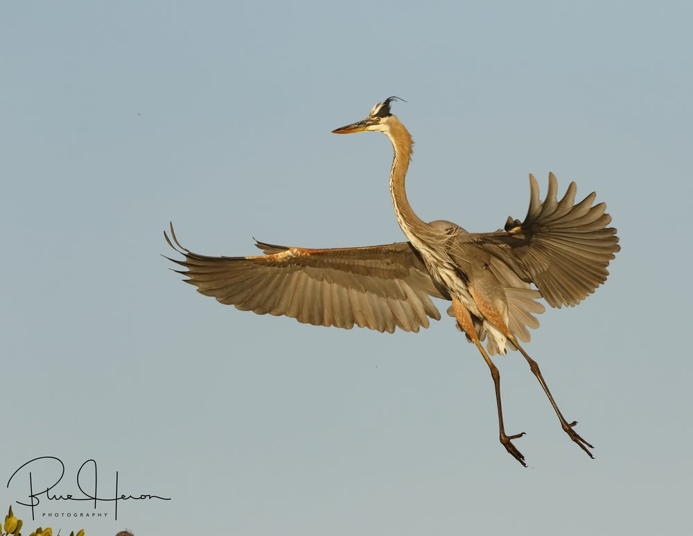 Great Blue Heron with full flaps down for landing..
