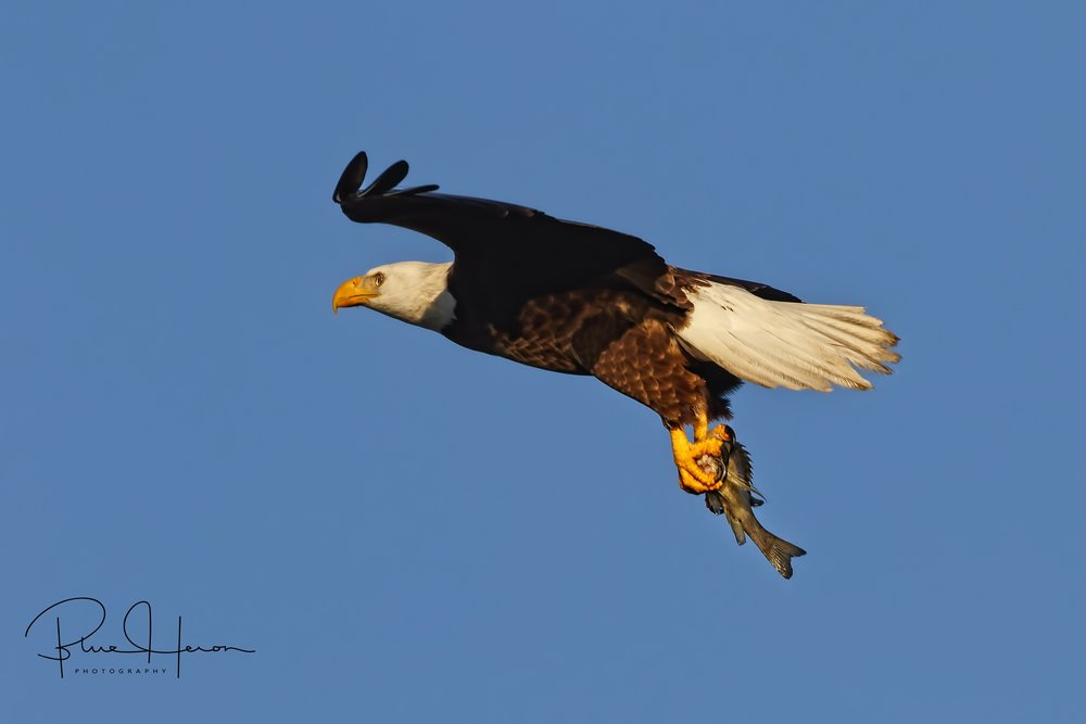 Bald Eagle carries breakfast to the nest.