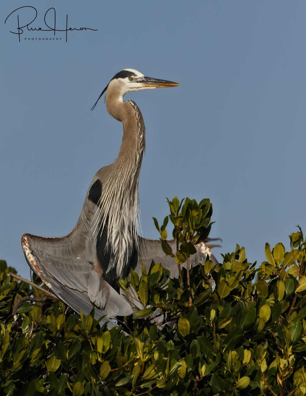 Catching some rays...Great Blue Heron enjoying the Island in the sun..