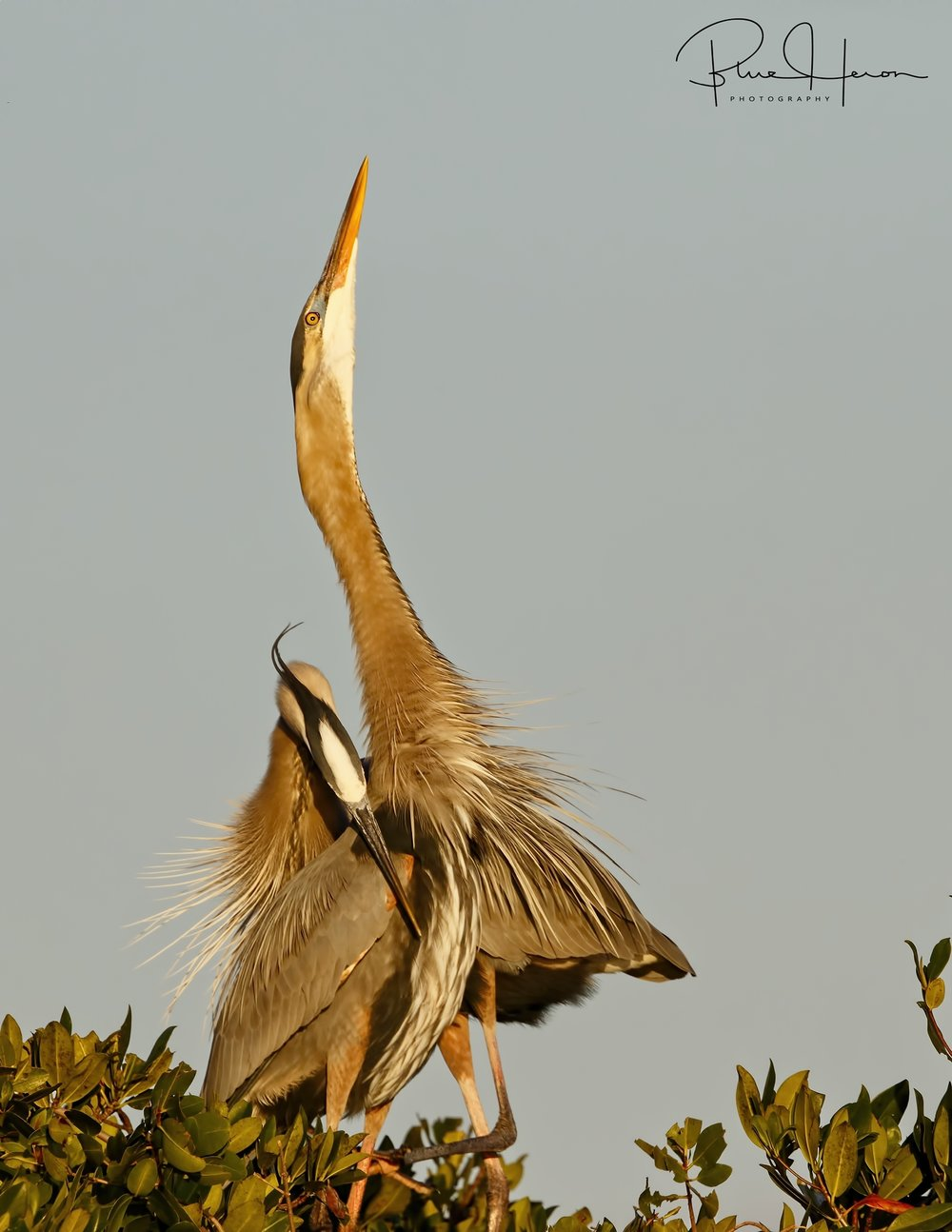 Missed you Blue...Great Blue Herons showing affection with a hug and display