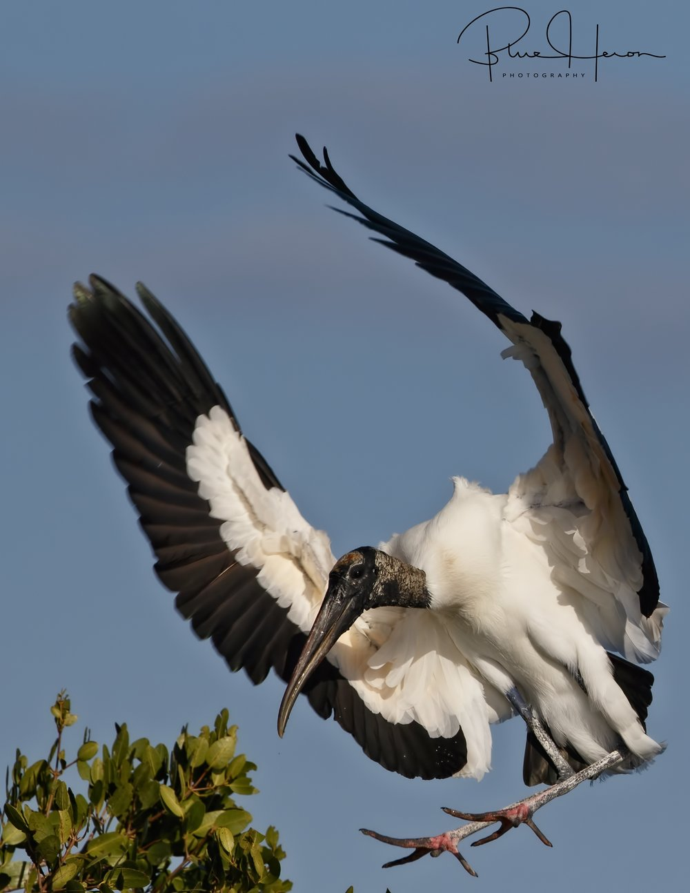 Gently touching down..Wood Stork returns to the nesting site.