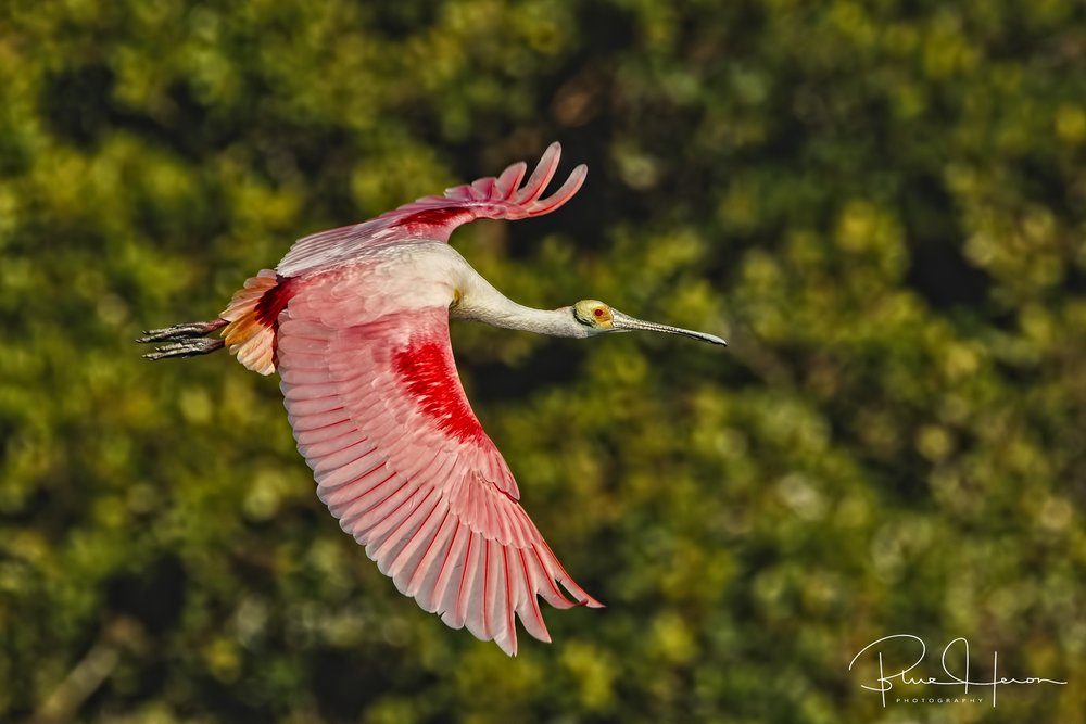 Spoonbill fly by showing breeding coloration of scarlet wing feathers and yellow on the tail