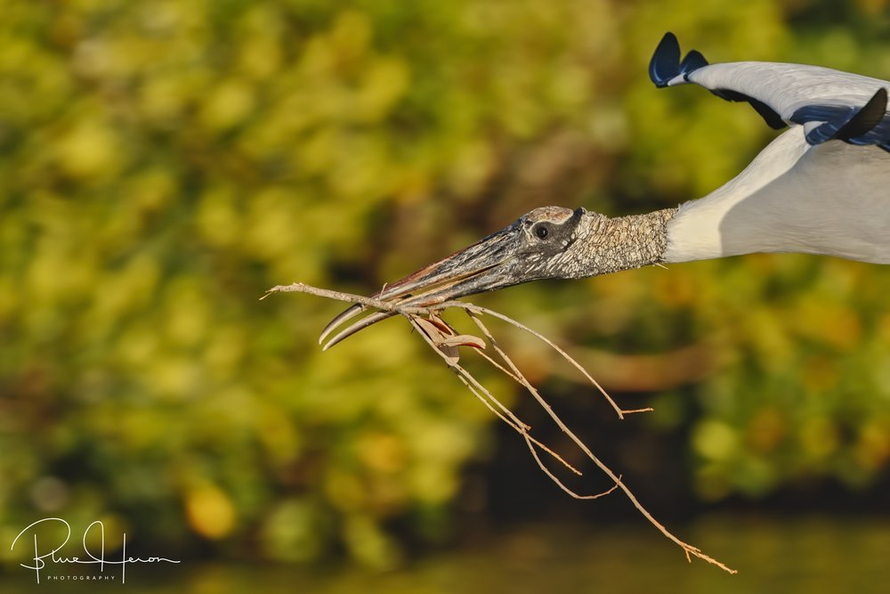 Close aboard fly by...Wood Stork with nesting material