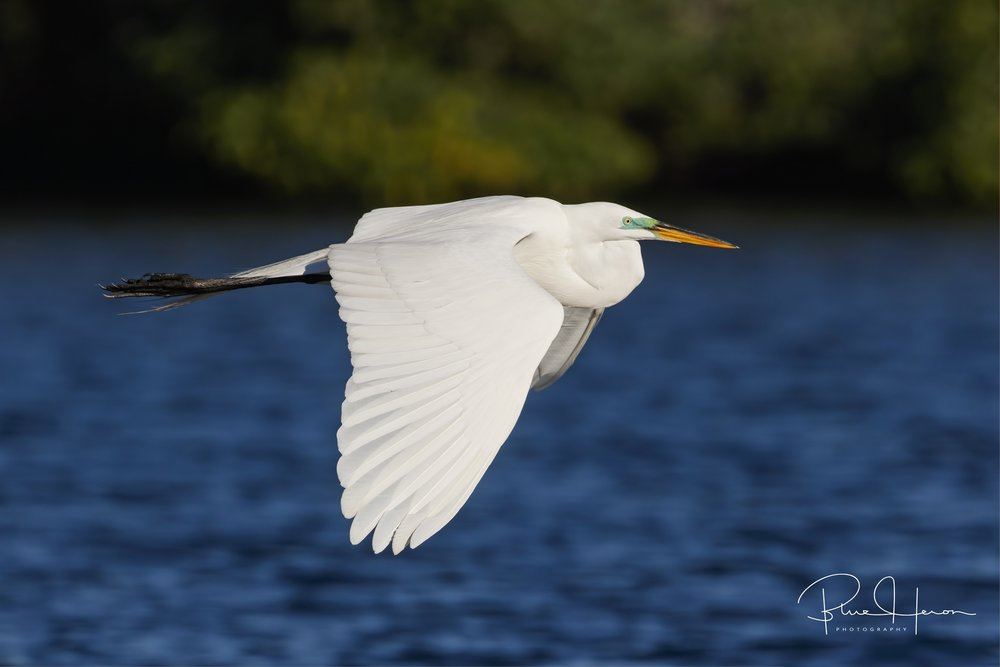Great Egret in flight to search for nesting material, note the green breeding coloration around the eyes