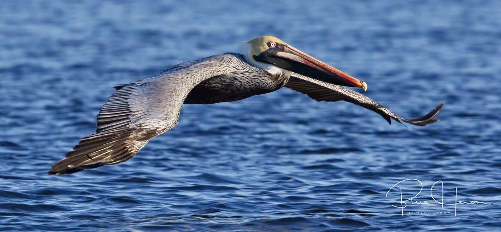 Brown Pelican flying low...