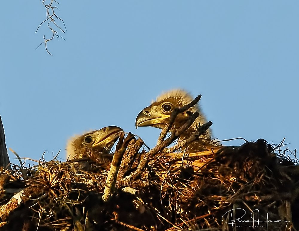 Bet we are having fish for breakfast lil brother..close up crop of newly hatched eaglets..
