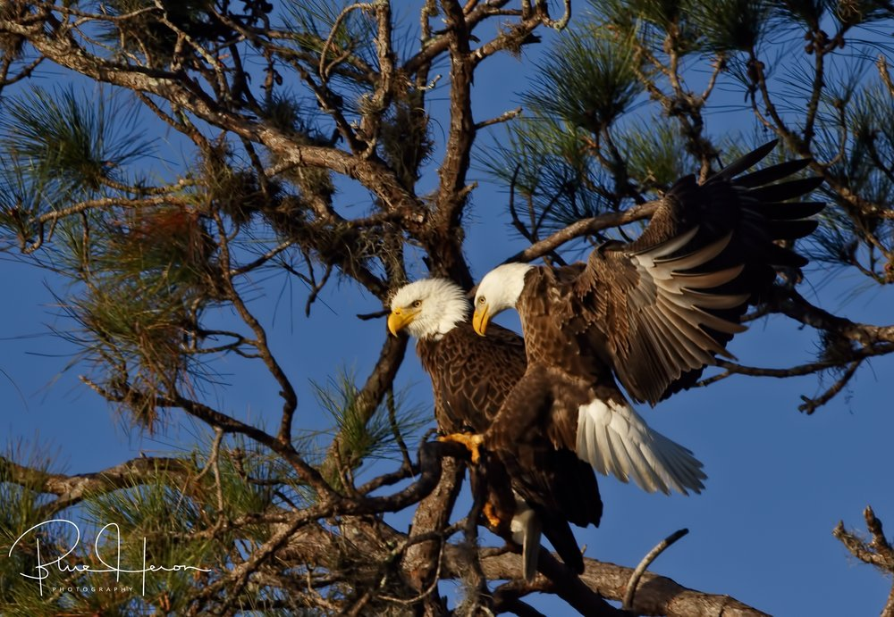 Relieve the watch..one eagle relieves the other of the nest watch..the female is slightly larger than the male