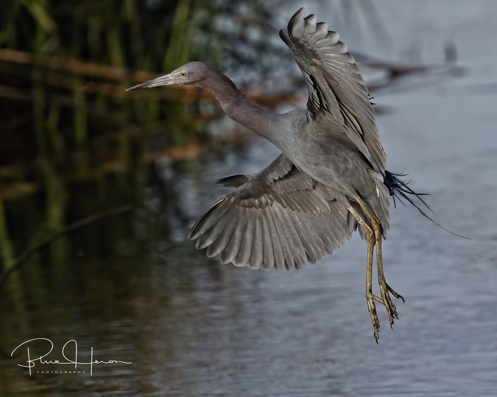 "Little Blue Heron comes in for a perfect ""Marsh Landing"".."