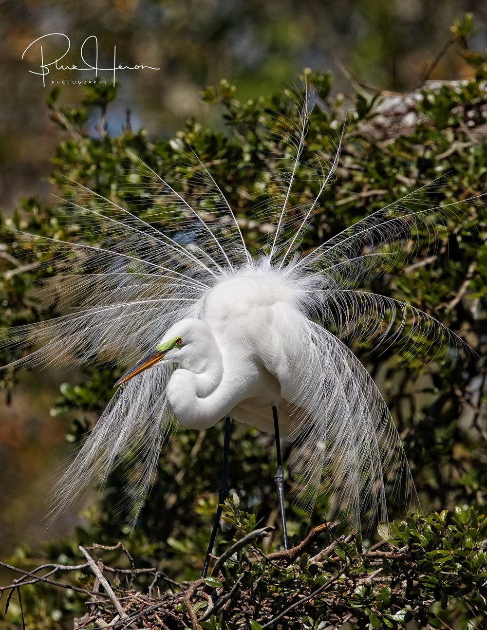 These wispy white plumes almost lead to their extinction...thankfully they are still around