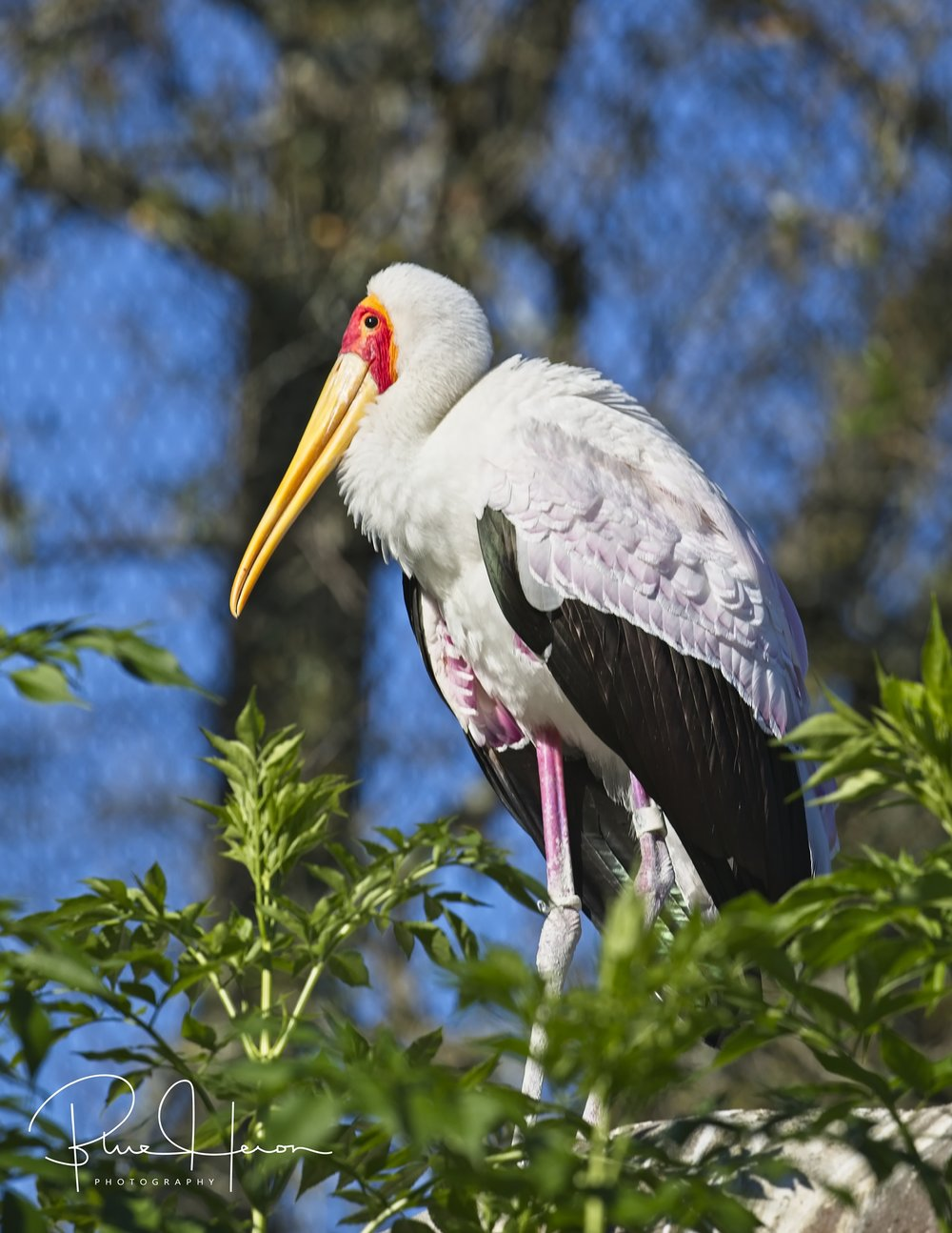 The Painted Stork has some pink in the feathers and very colorful..