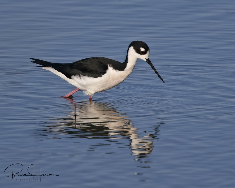 This pretty eyed wading shorebird has been on my bird bucket list for a while...hope to capture some more..