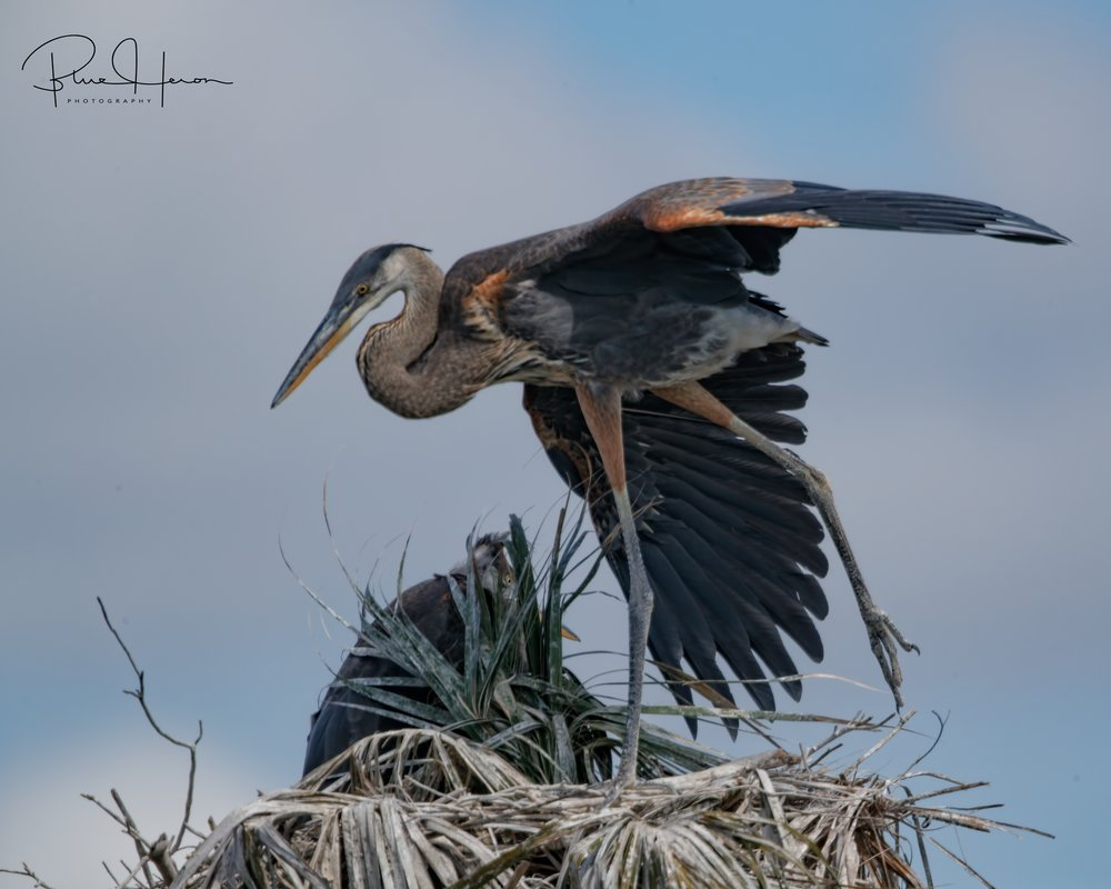 The Great Blue Heron hatchling does a wing stretch, it should fledge any day now..
