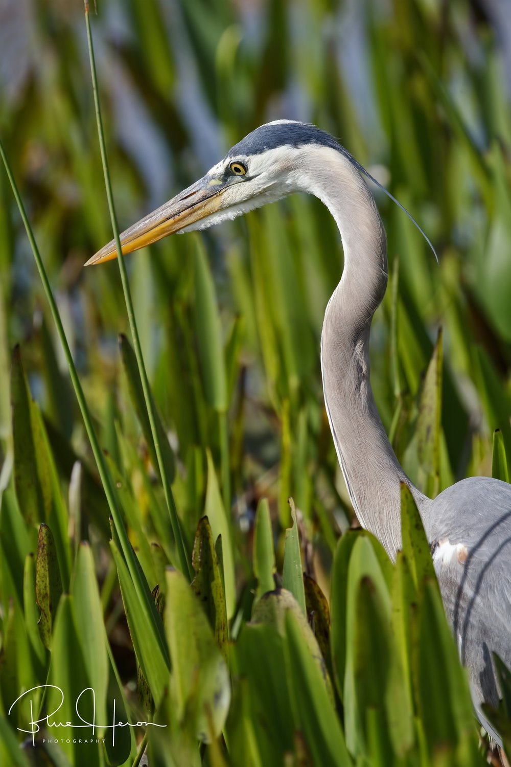 The adult Great Blue Heron searches the march grass for food for the growing young.