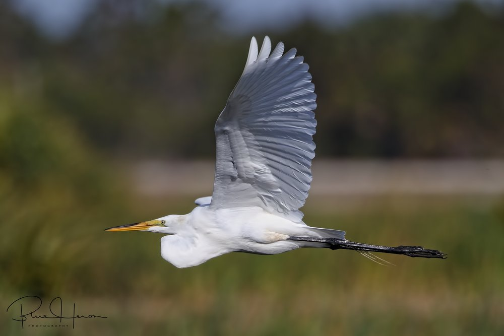 Great Egret fly by..Flaps up profile
