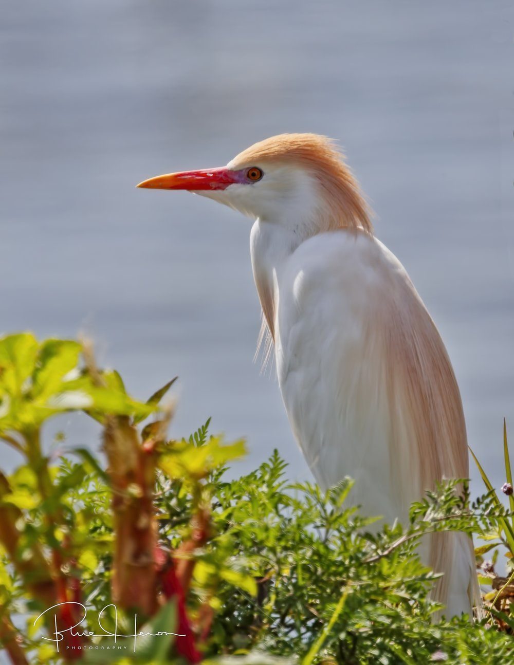 Some Cattle Egrets in breeding plumes are spotted too!