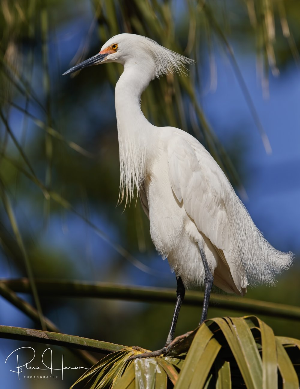 The Snowy Egrets were in full display mode also showing breeding plumes and red eye coloration