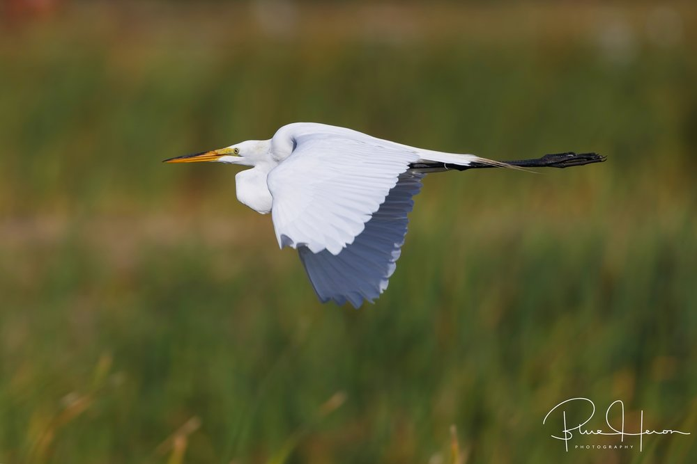 Great Egret flaps down...
