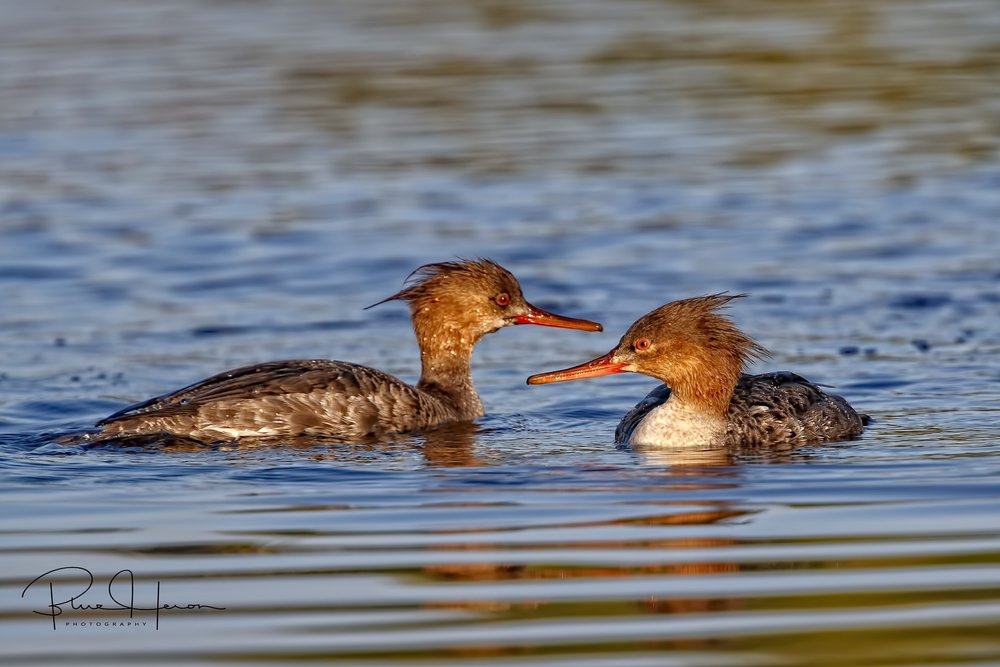 Female Red-breasted Merganser (left), immature male (right)