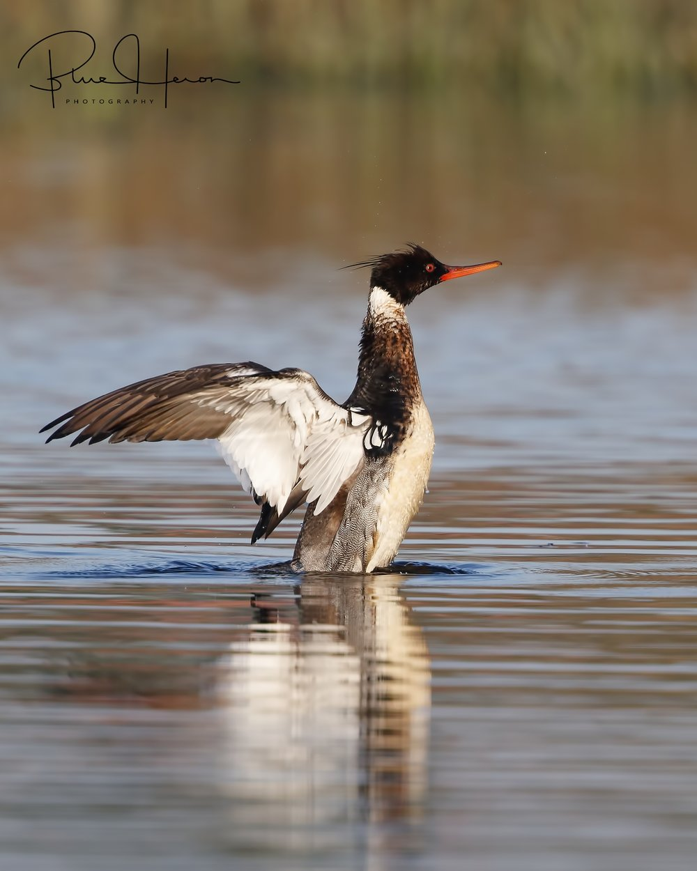 Merganser wing flap