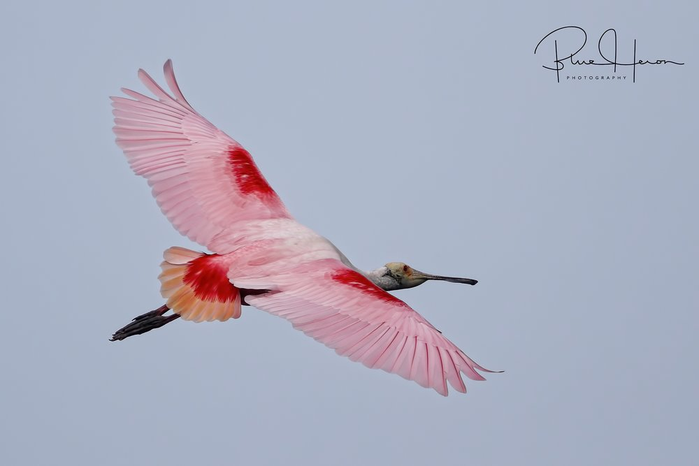 When not bringing sticks they are getting food..Breeding colors on Roseate Spoonbil