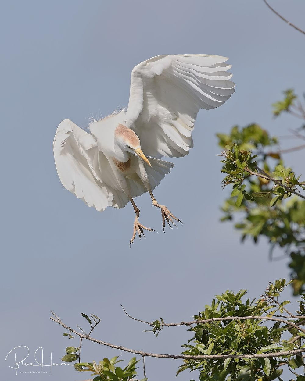 Nearly every branch is taken, landings are tricky..Cattle Egret coming in..