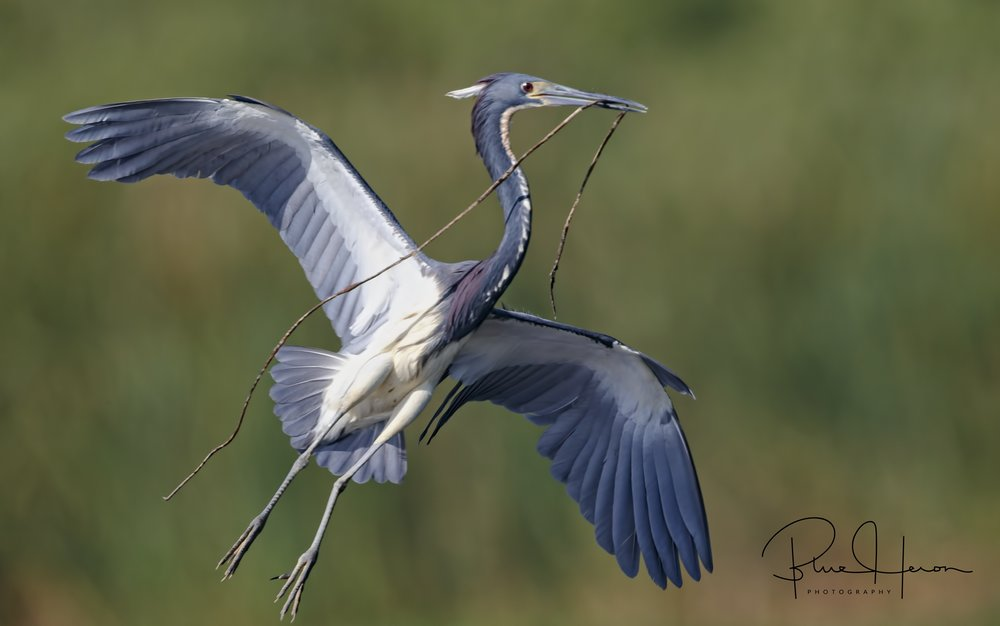 Tricolored Heron with nesting material