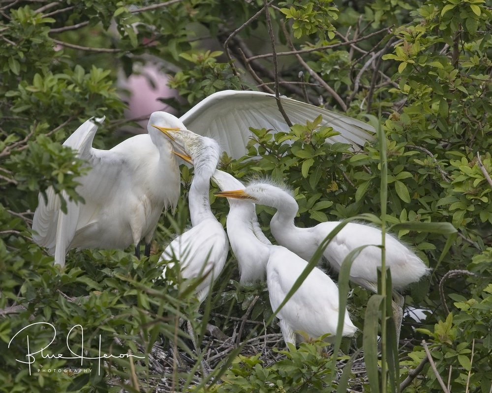 Hey, don't swallow Mom...we want some too!. Great Egret chicks getting fed the hard way..