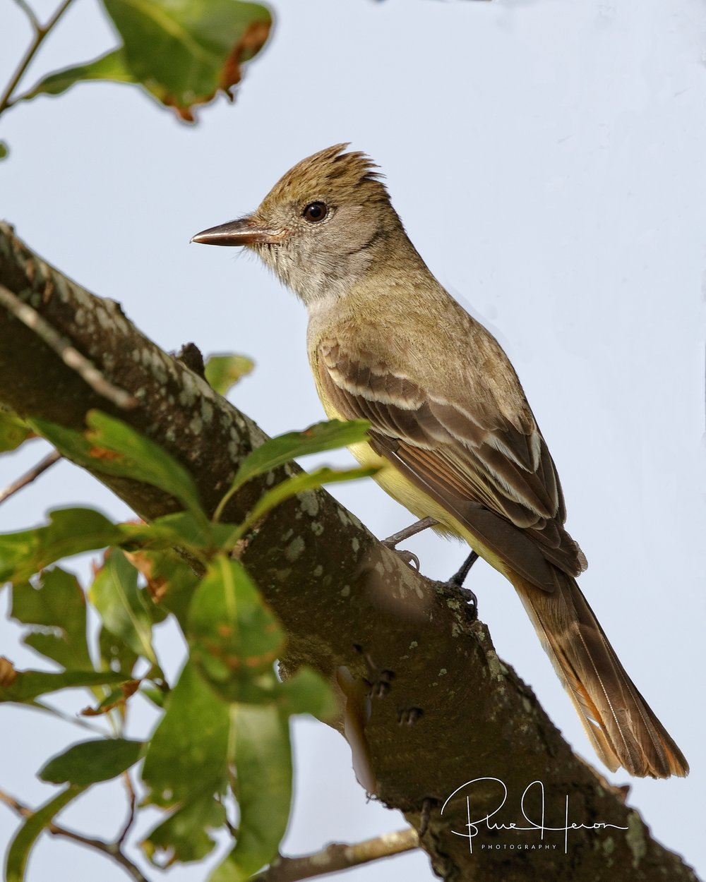 A first for me, Great Crested Flycatcher..nice surprise!