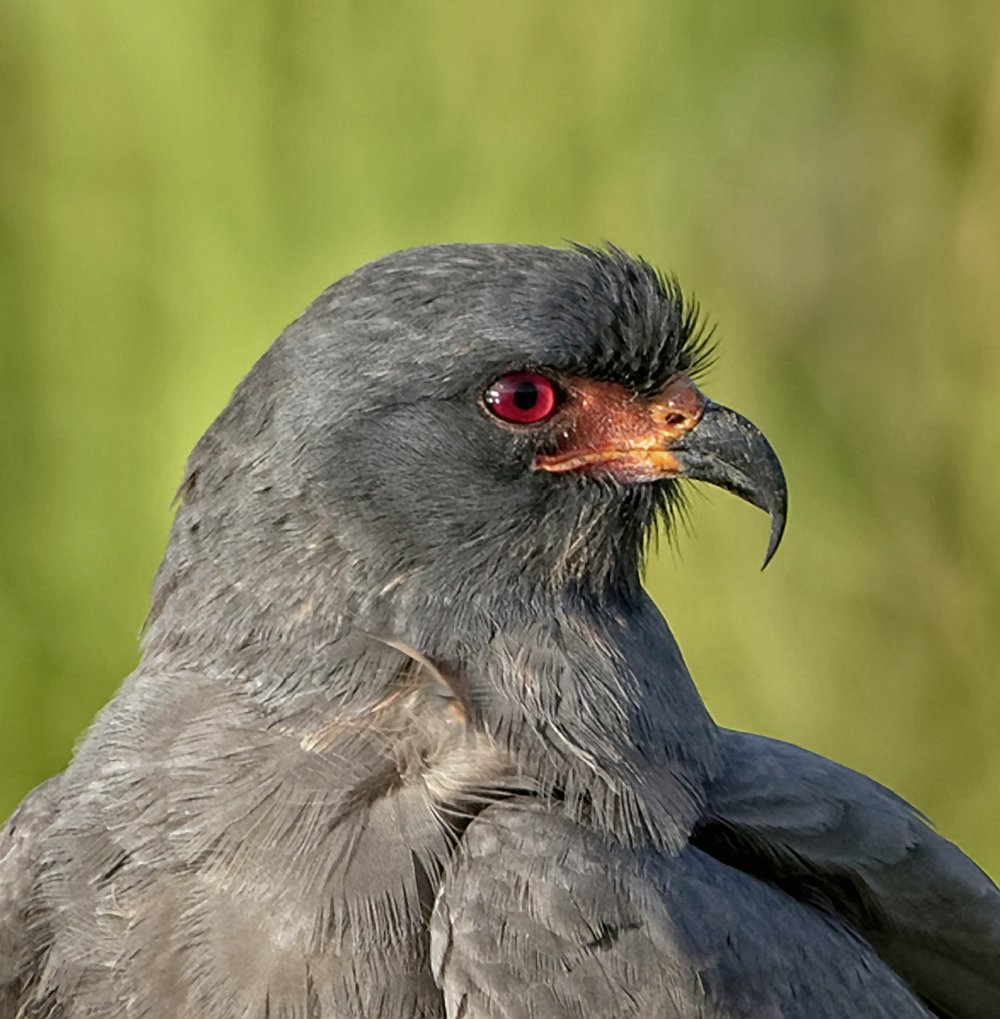 Male Snail Kite Profiile (from 2017) showing hooked beak used to pick and eat snail meat