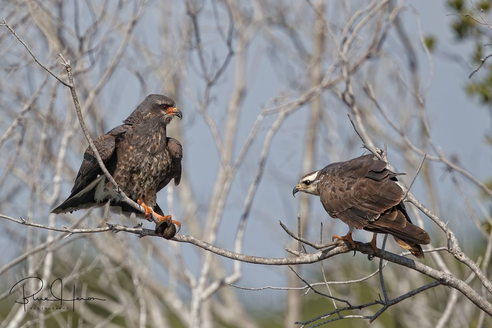 Young Male (left), female (right) Snail Kite pair.