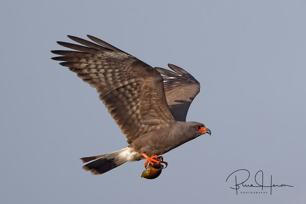 Male Snail Kite bringing in snail to nesting area