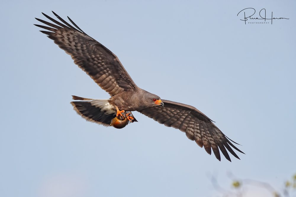 Snail Kite Male with apple snail