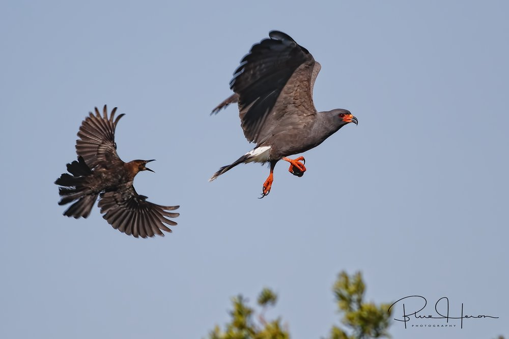 Boat-tailed Grackle (left) tries to steal the snails and harass the Kites