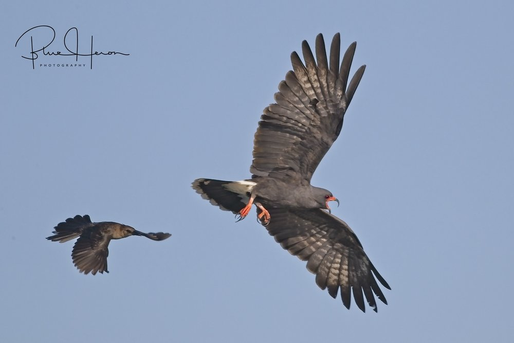 Snail Kites give warning to the pesky Grackle
