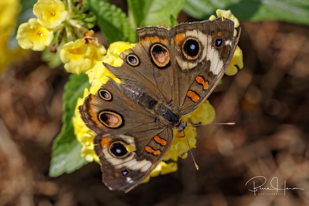 And for all you Ohio fans...a Buckeye Butterfly..